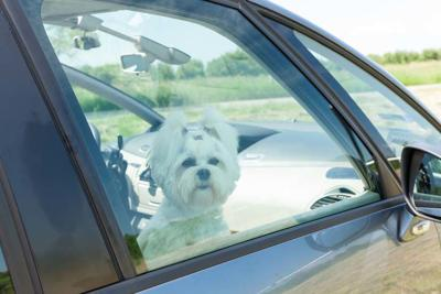Forcing Entry Dog Trapped in car
