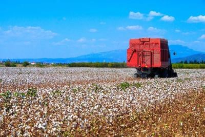 Cotton fields ready for harvesting