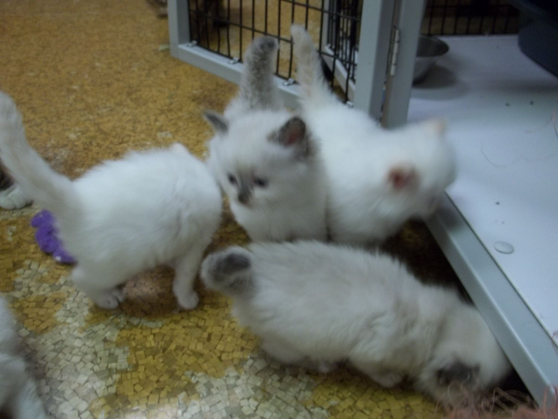 Ragdoll kittens image 1