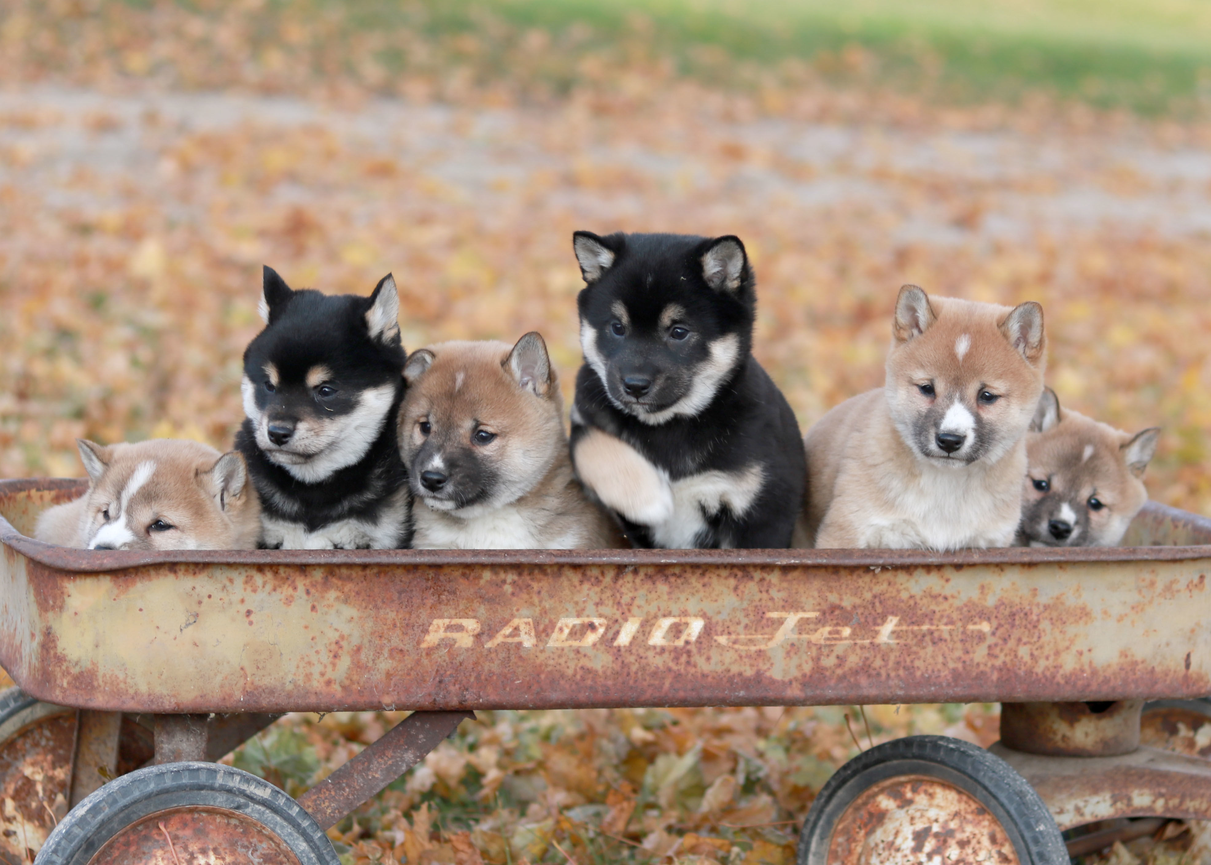 Shiba-Inu Puppies For Sale image 1