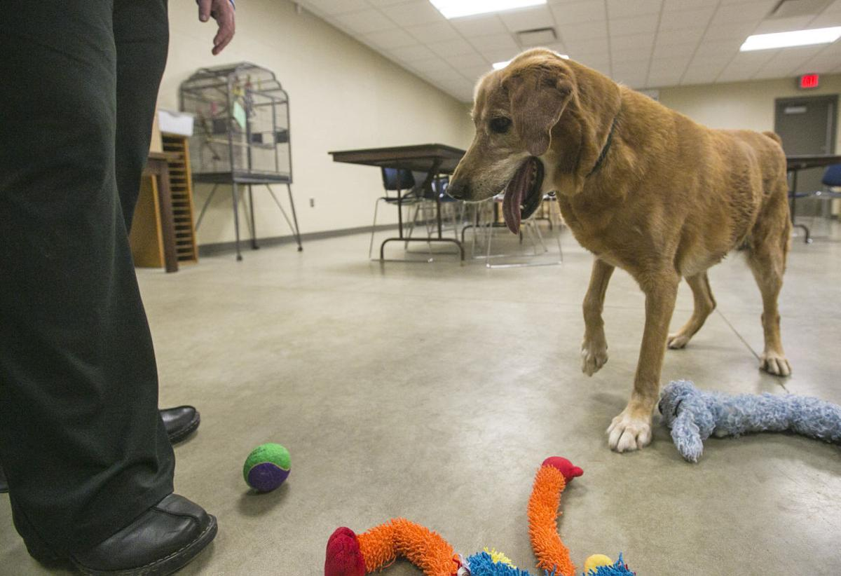 Dying golden retriever needs hospice home | Mason City & North Iowa