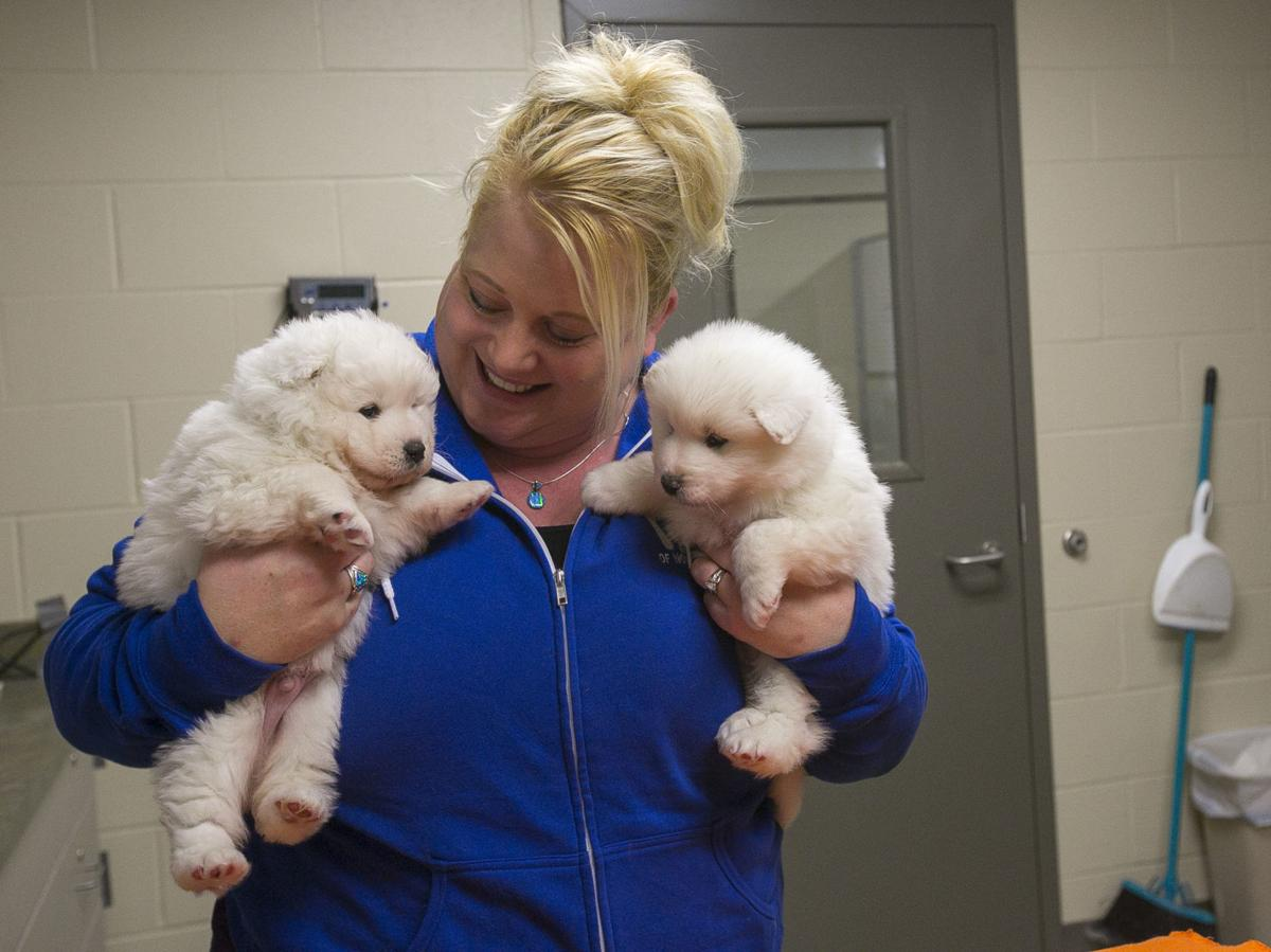 Humane Society: Samoyeds seized from Manly puppy mill can be