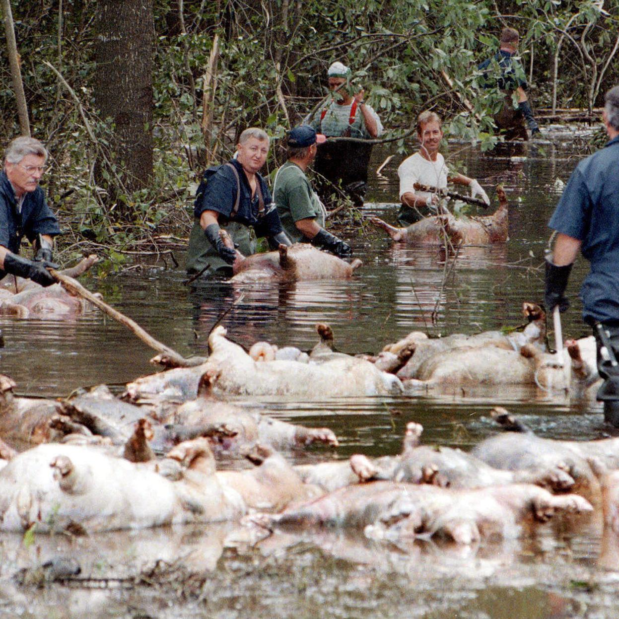 Florence could flood Prestage's hog manure pits in North