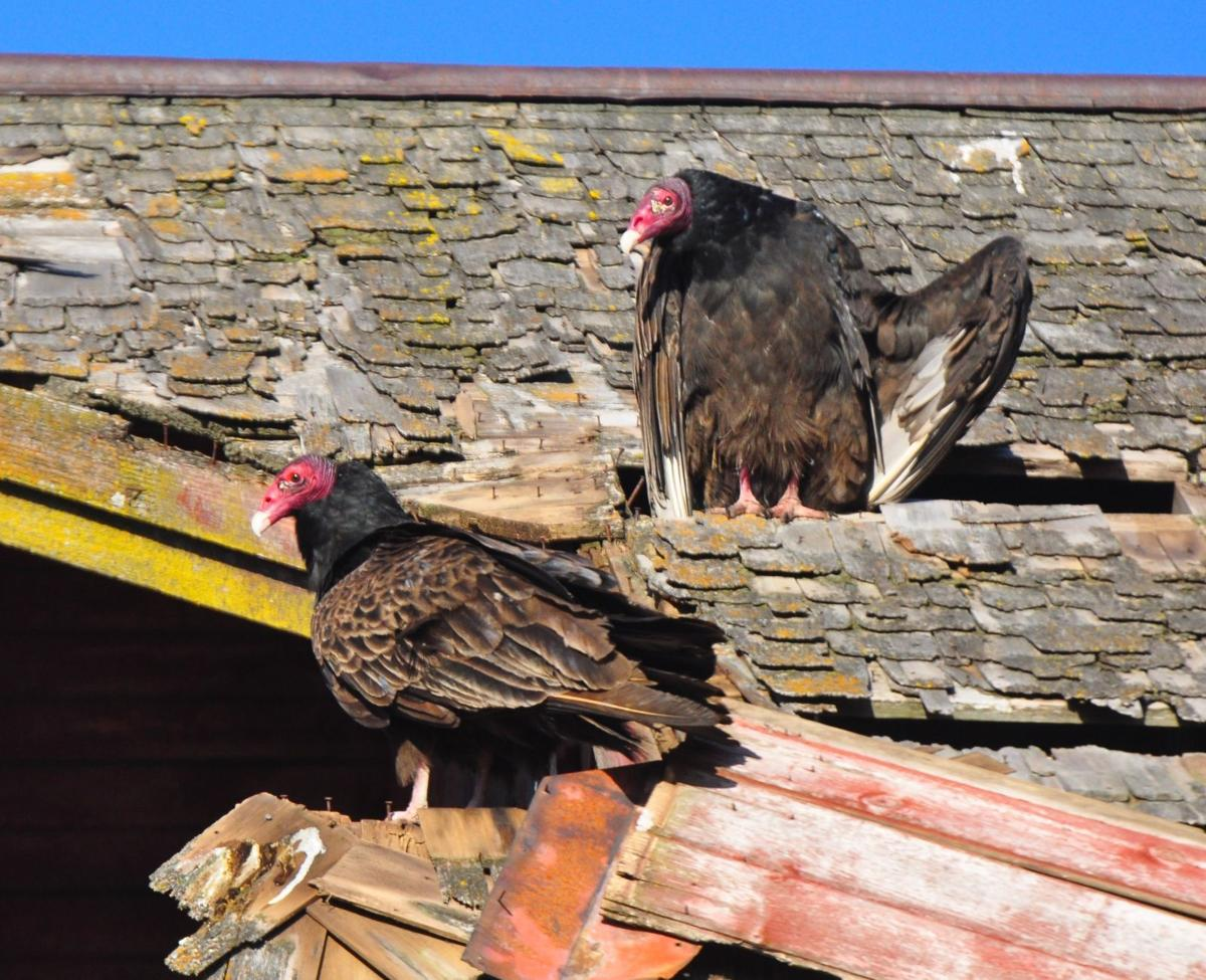 Turkey vultures at Clausen's Cove