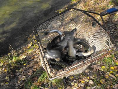 Trout stocking 2