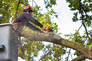 Arborist Tree Pruning Service Working on High Branches
