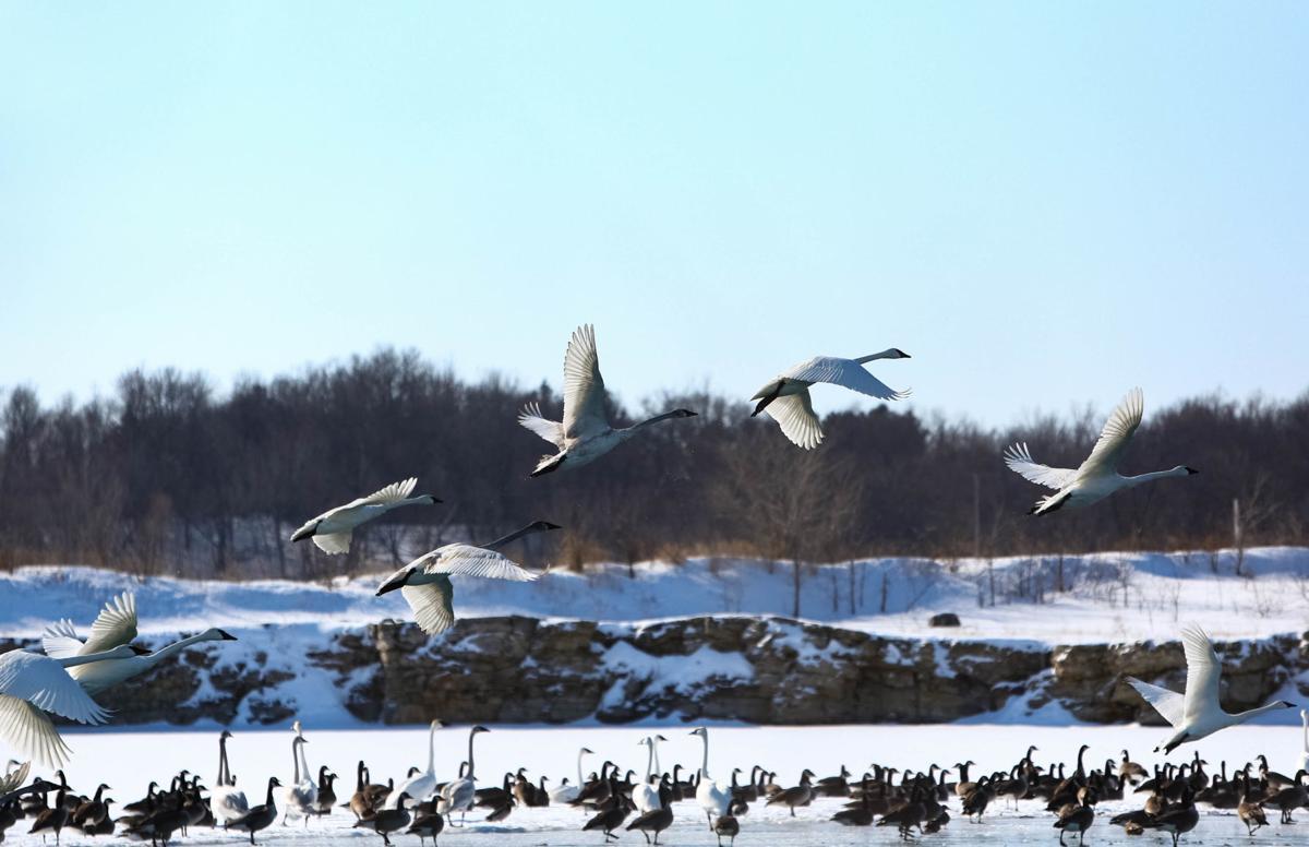Swans at Fertile (7).jpg