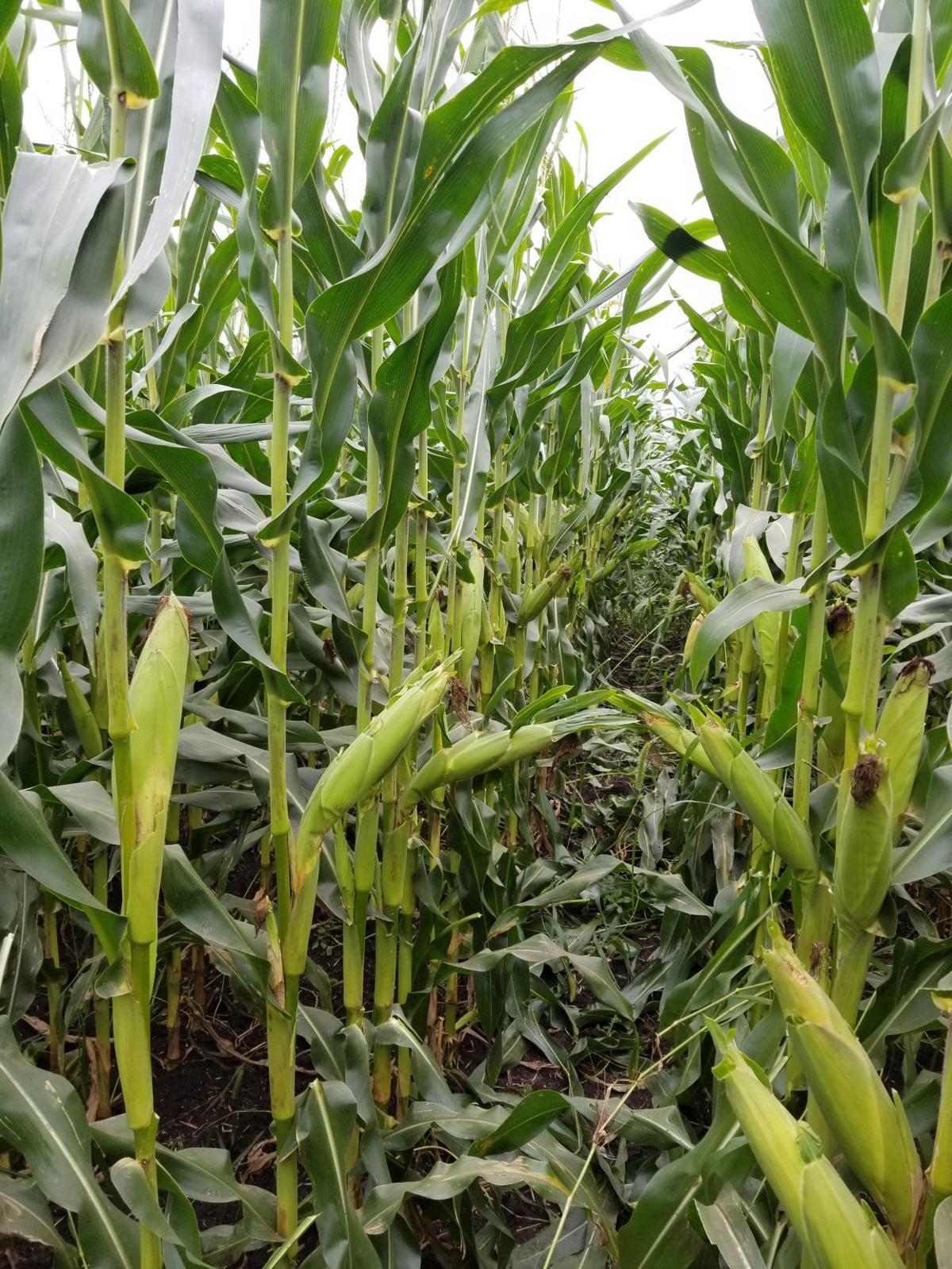 Organic Corn 5