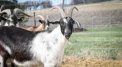 North Iowa Nitty Gritty: Goats on the Go isn't kidding around when it comes to landscaping