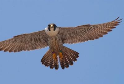Peregrine falcon recovery takes a big step   Features