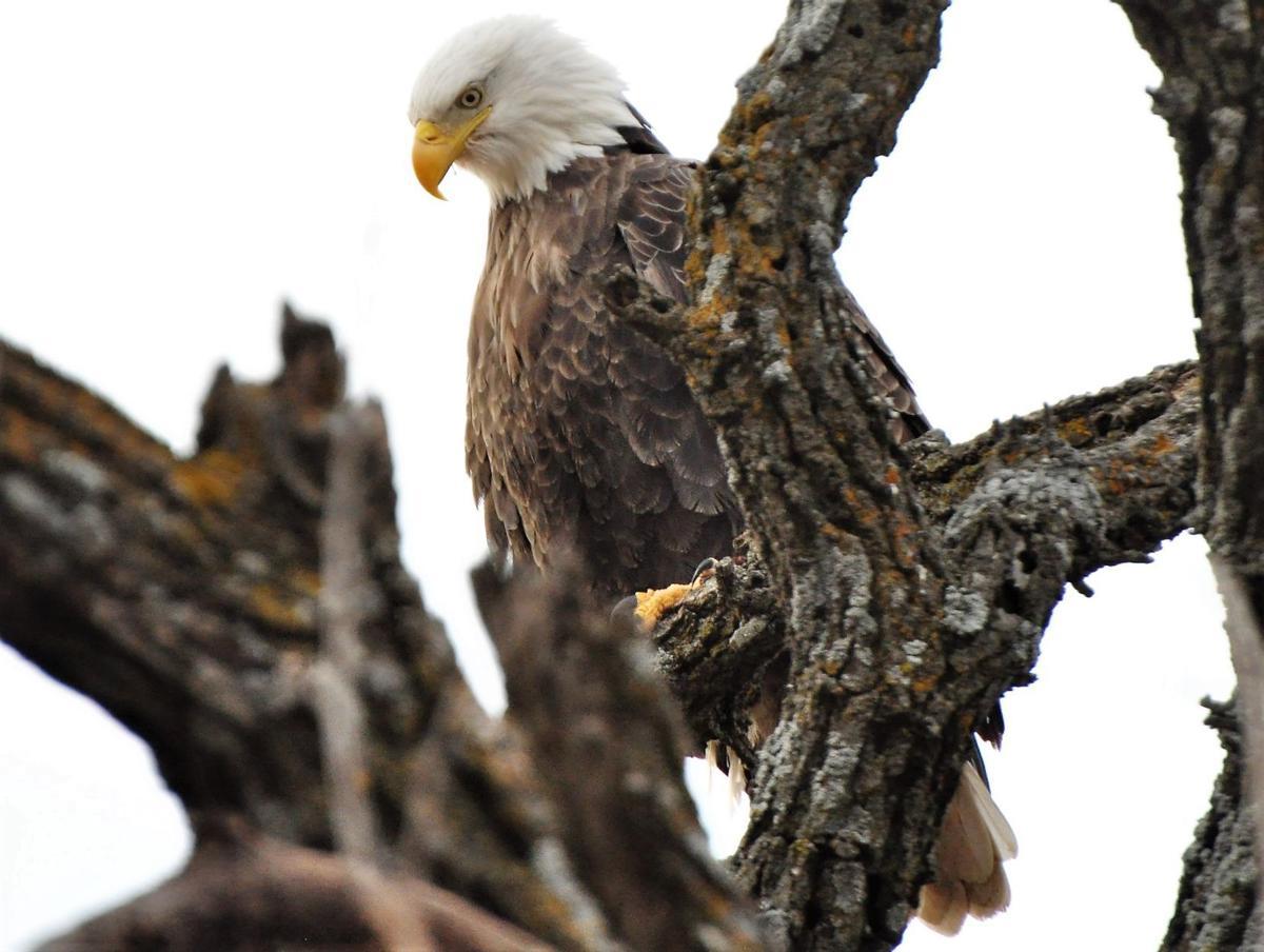 Bale Eagle 2