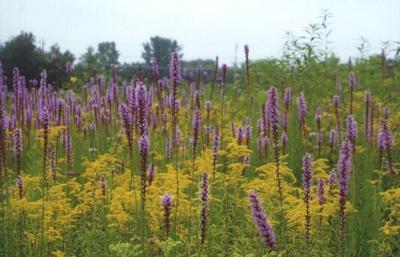Blazing Stars and Goldenrods