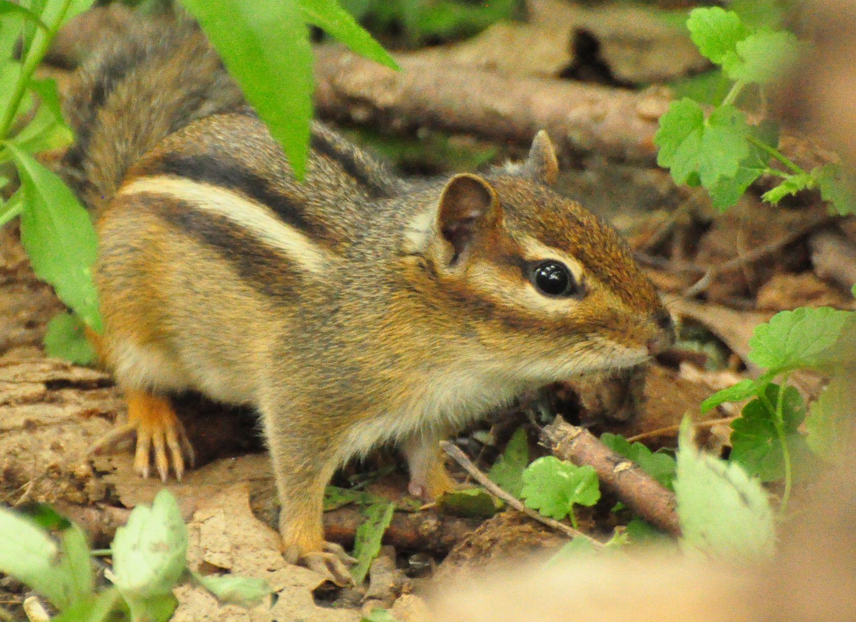 Chipmunk Colorful Mammal Animal Wildlife Squirrel Humor Hoodie