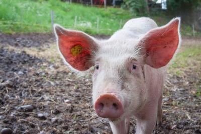 Pig hog weblogo
