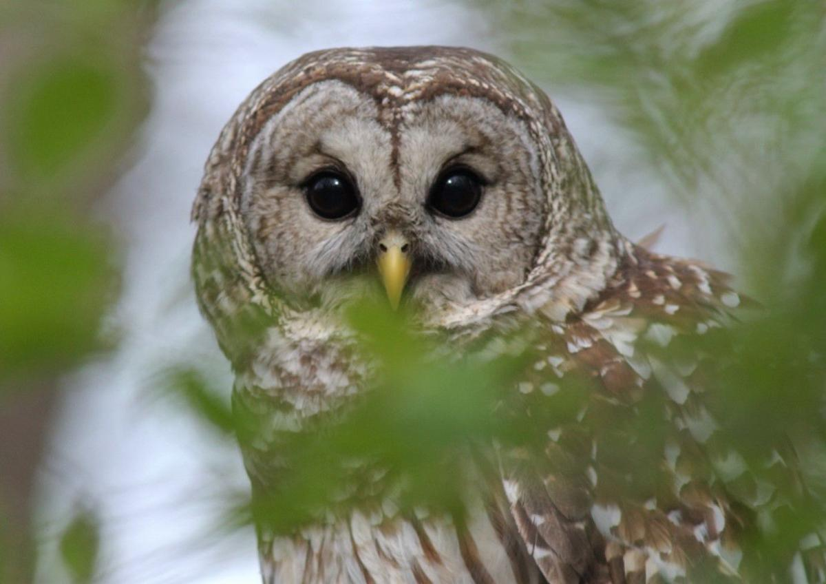 A barred owl - Clayton County, Iowa