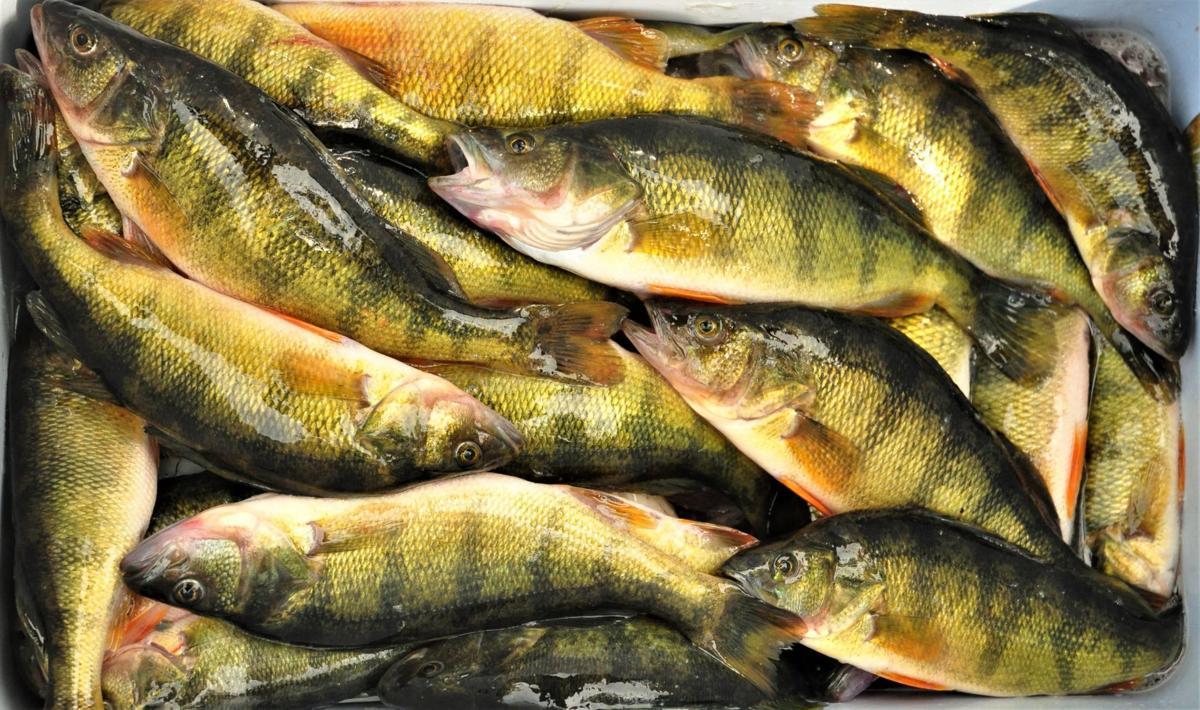 Rice Lake Yellow Perch