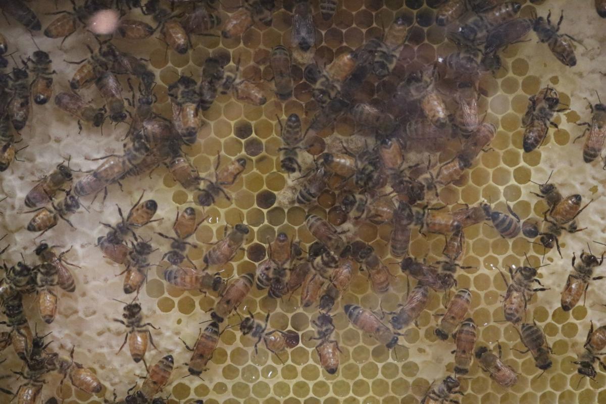 Honeybees 11