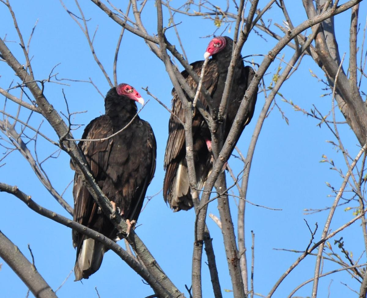 Turkey vultures in the trees