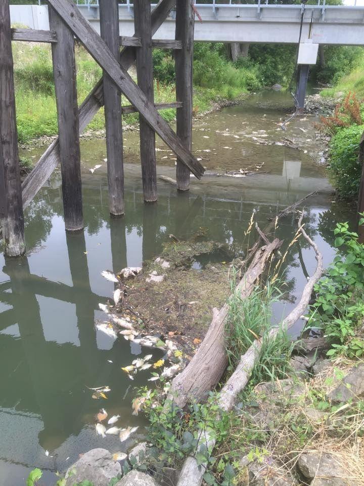 Fish kill in Mason City pond