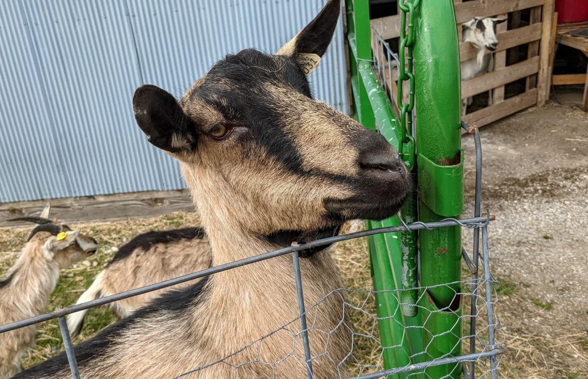 Goats on the Go 4.jpg
