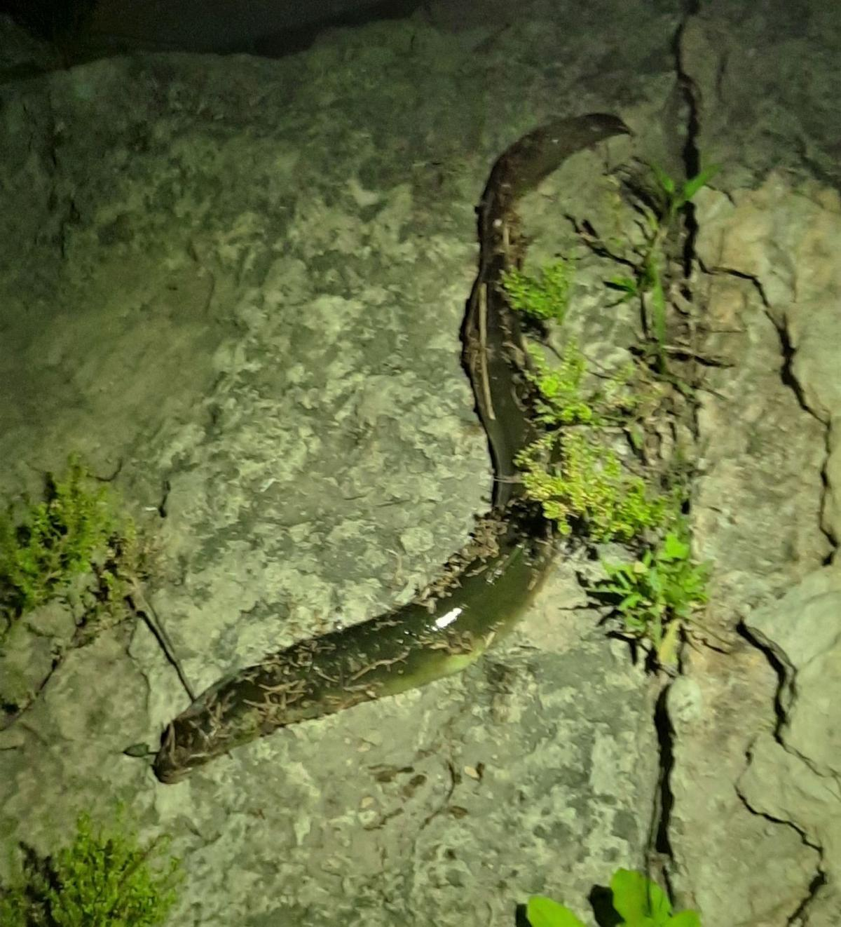 Mosher eel - 2