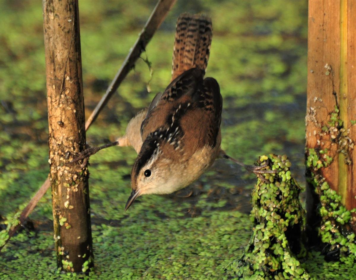 Washburn Outdoors - marsh wren