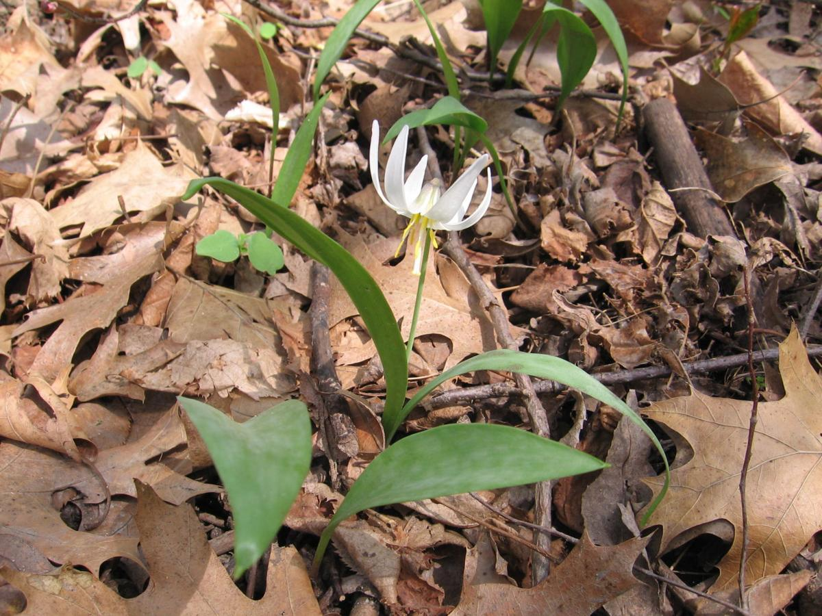 trout lily from side.jpg
