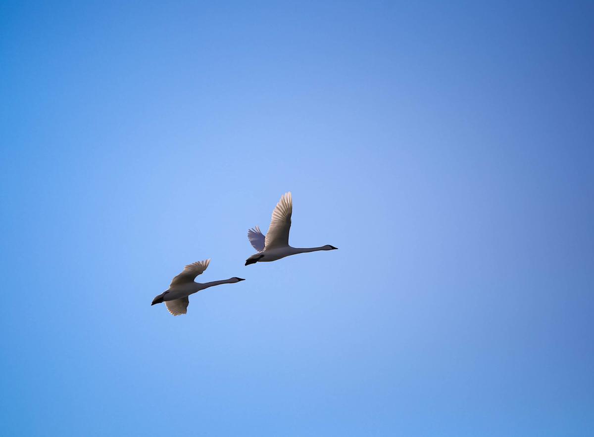 Swans at Fertile (8).jpg