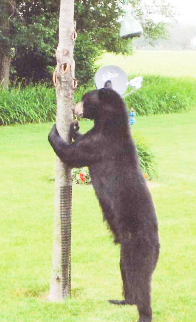 A bear in the backyard