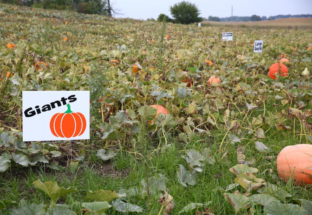 Plain Ol' Pumpkins - 2