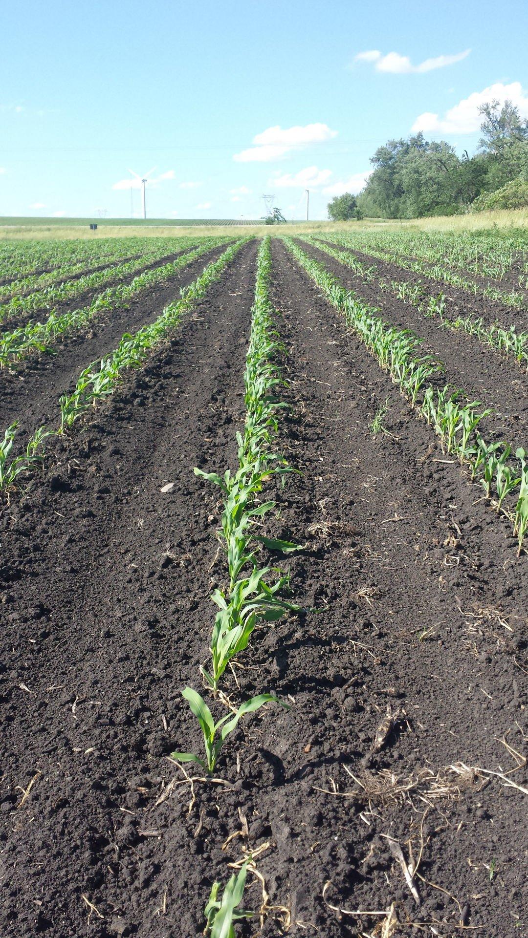 Organic Corn 3