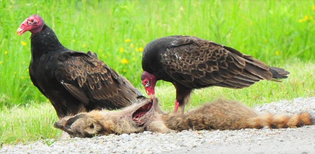 Vultures with roadkill