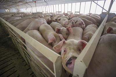 Hogs - Webster Co. CAFO