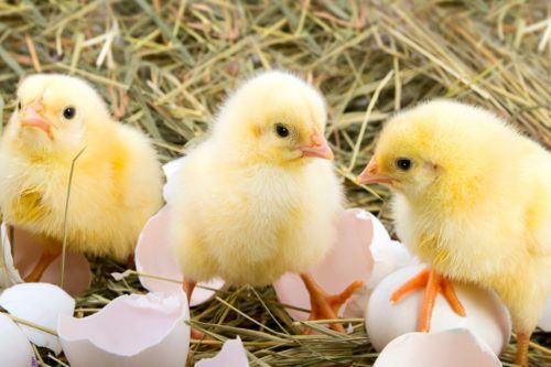 Kindergartners Sing 'Happy Birthday' To A Hatching Chick And It Is Adorable