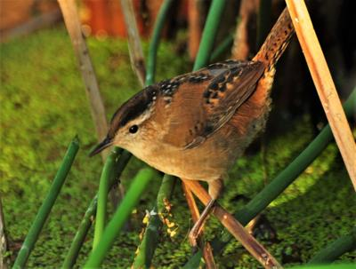 Washburn outdoors: Cheeriest bird in the marsh