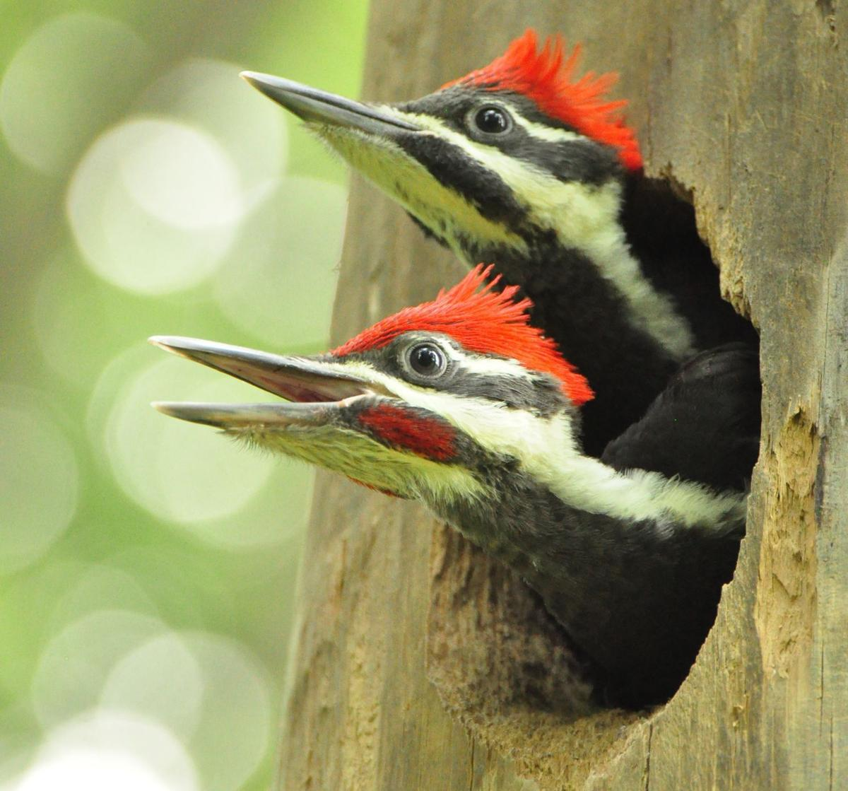 Washburn Woody Woodpecker Makes North Iowa Its Home