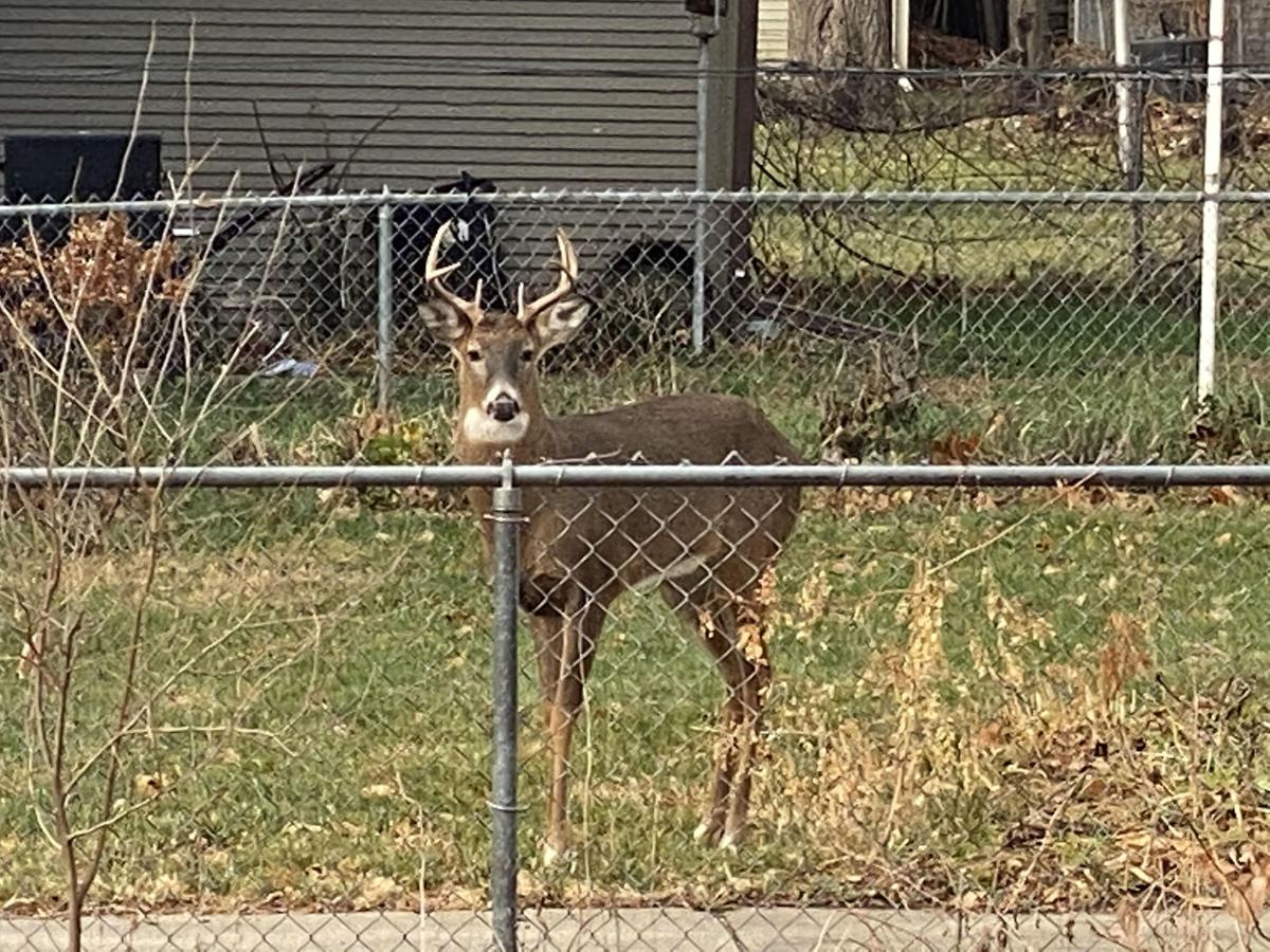 Deer in yard 2