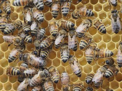 14751f09826 Mayor declares Honey Bee Day in Mason City