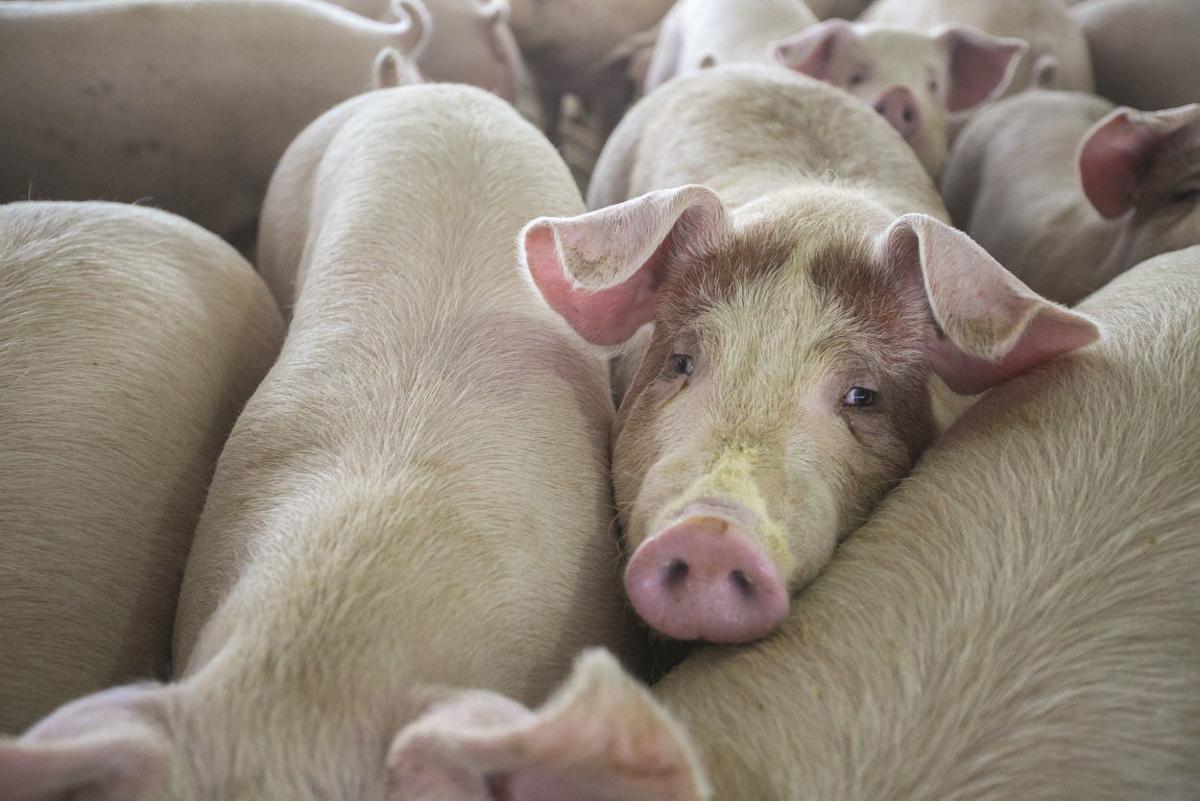 Hogs 3