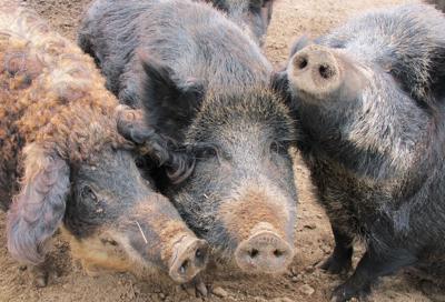 Feral Hog Backlash