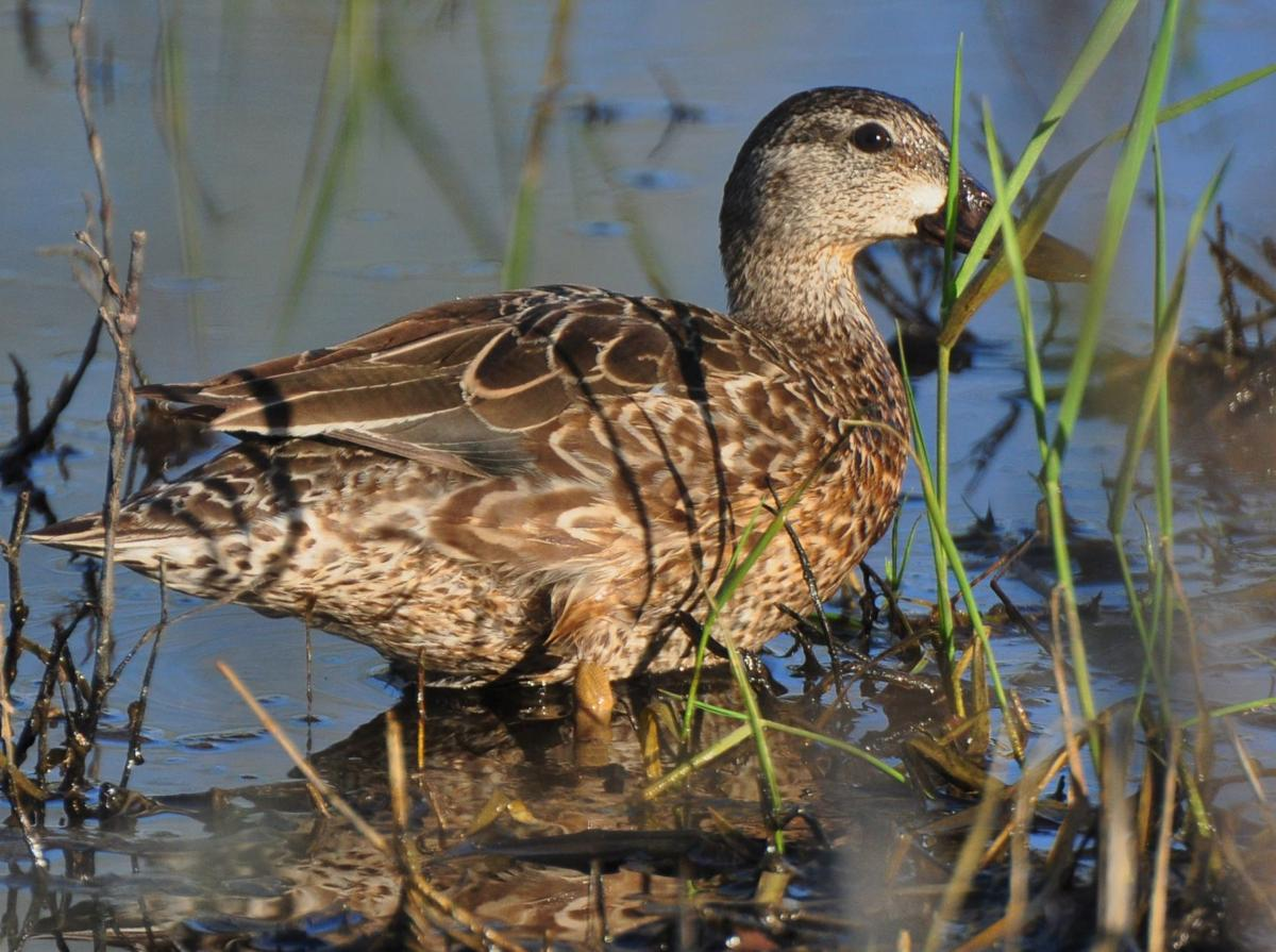 Washburn Outdoors - Shallow water blue-winged teal