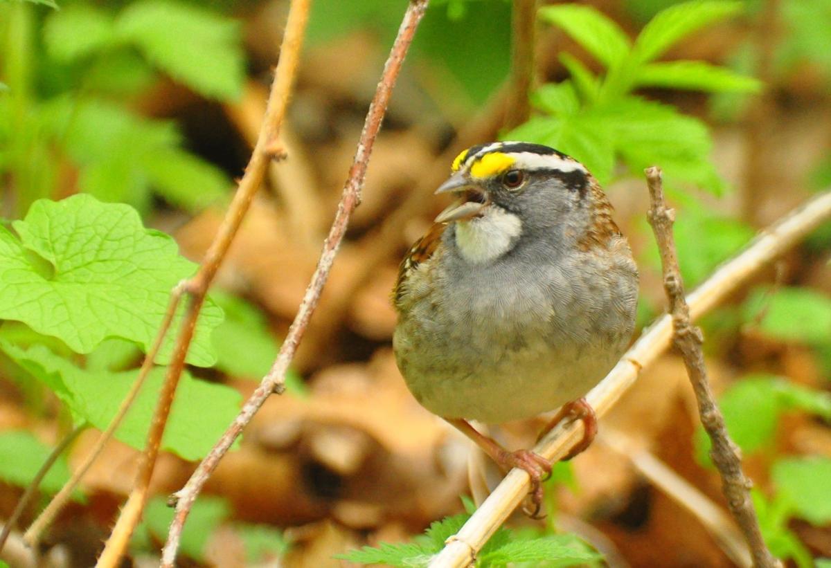 Springtime crooner -- white-throated sparrow