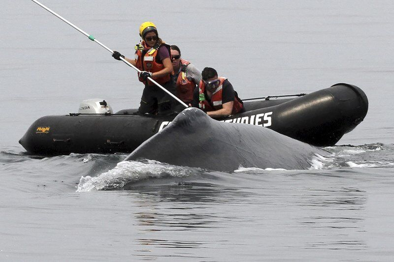 Whale rescuers free humpback from fishing gear entanglement