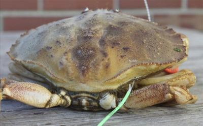 Feds look to create Jonah crab fishery