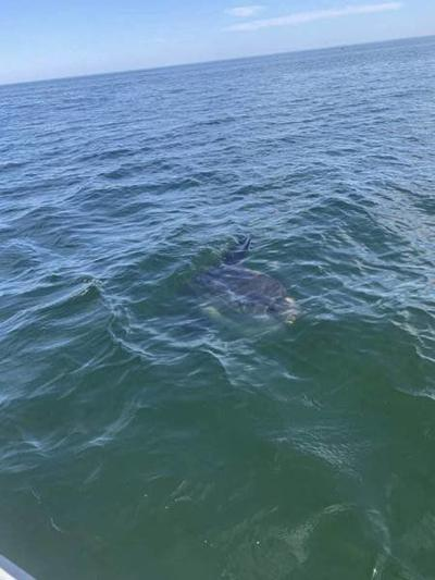 Police: It's a sunfish, not a shark