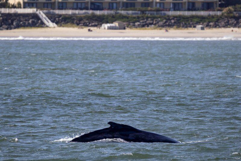 Young whales flock to waters off NYC