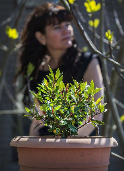Bay leaves are better if you grow your own