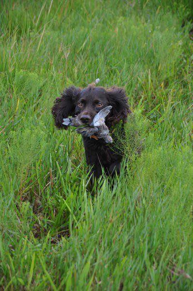 Outdoors: Boykin Spaniels: Big heart... Small package