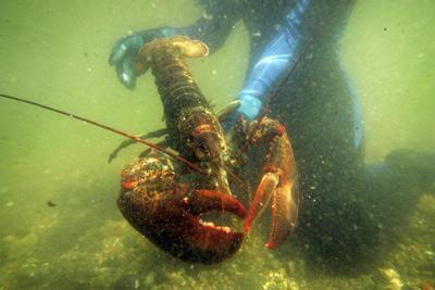Warming sea endangering lobster stock