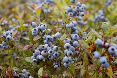 Maine's blueberry crop faces climate change peril